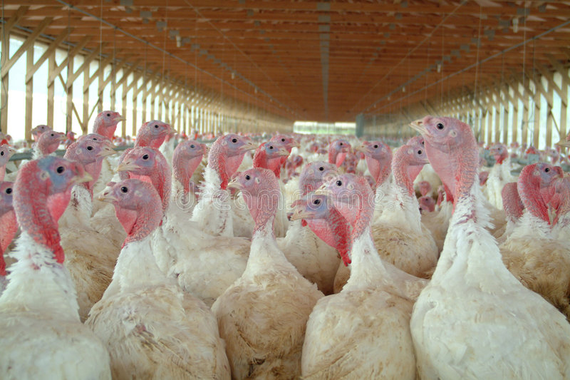 Young turkeys. A young turkeys on a farm stock images