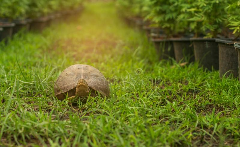 Young turtles are walking on the grass royalty free stock photography
