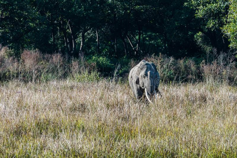 Tusker at Grassland pf Jim Corbett National Park. Young tusker grazing at grassland of Jim Corbett National Park royalty free stock images