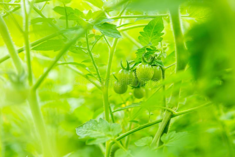 Young unripe tomatoes growing in garden in summer royalty free stock image
