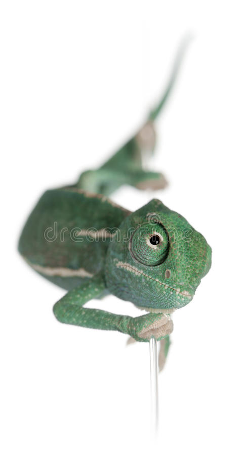 Young veiled chameleon, Chamaeleo calyptratus. Climbing up a string in front of white background royalty free stock photos