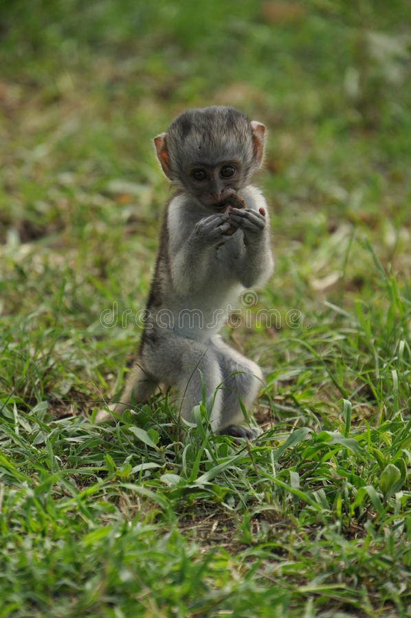 Download Young vervet monkey stock image. Image of blue, guenons - 29933799