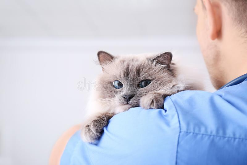 Young veterinarian holding cat royalty free stock photography