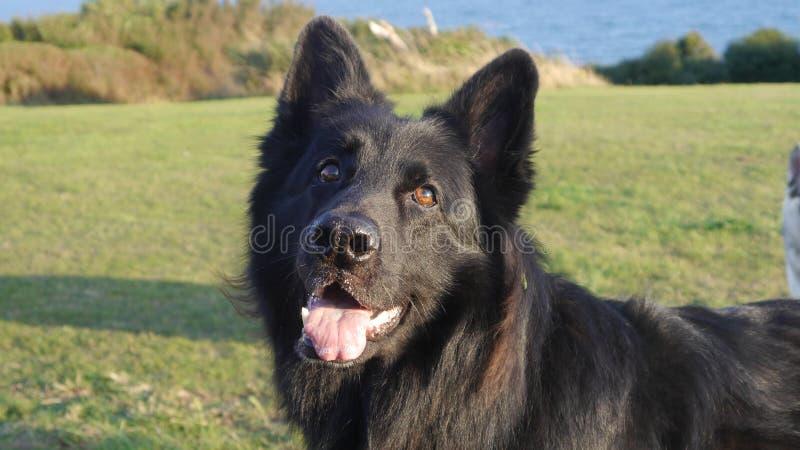 All black German Shepherd dog standing vibrant & alert royalty free stock images