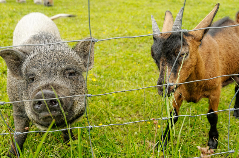 Young vietnamese pig and young goat making friends royalty free stock photography