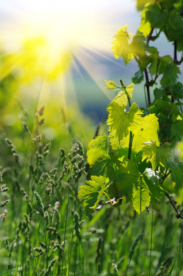 Download Young vine tree leaves stock photo. Image of country - 34439332