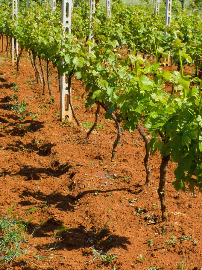 Download Young vineyard stock photo. Image of grow, france, destination - 14455014