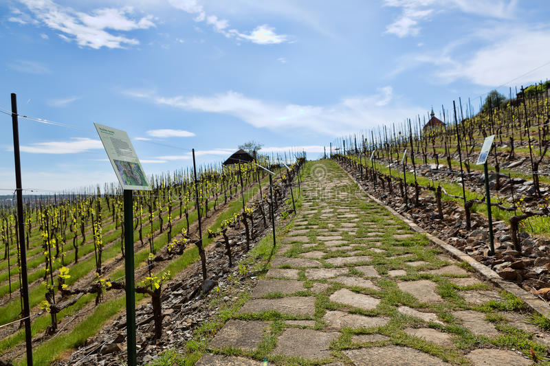 Young vineyard has planted in parallel rows at hilly royalty free stock images