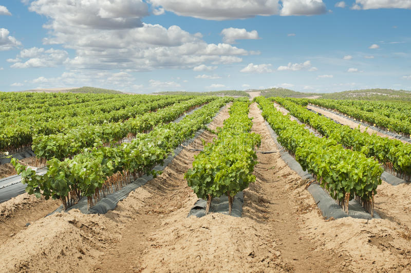 Download Young Vineyards in rows. stock image. Image of produce - 27190813