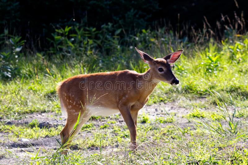 Young Virginia Deer female royalty free stock images