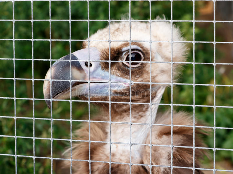 The young vulture in a cage at the zoo. Concept of cruel treatment. The young vulture Gyps fulvus in a cage at the zoo. Concept of cruel treatment royalty free stock photos