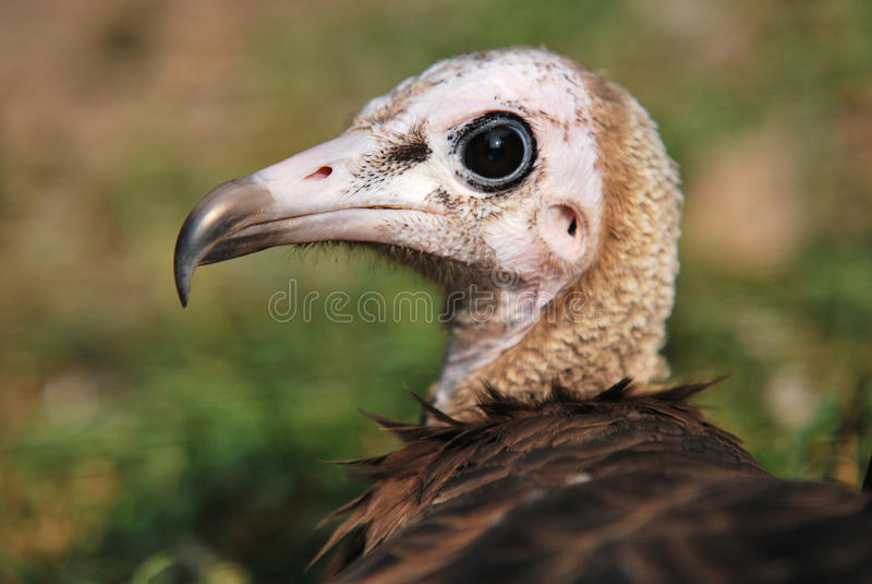 Young vulture - portrait stock photo