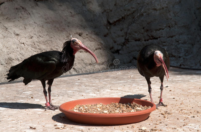 Young Vultures