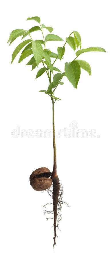 Young Walnut sapling royalty free stock images