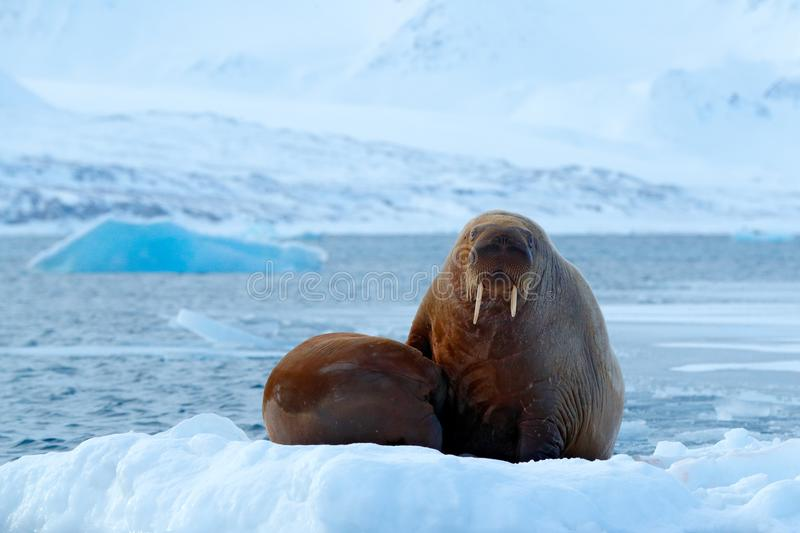 Young walrus with female. Winter Arctic landscape with big animal. Family on cold ice. Walrus, Odobenus rosmarus, stick out from b. Young walrus with female royalty free stock image