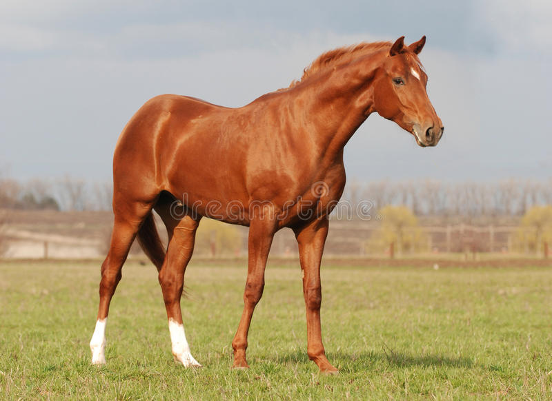 Download Young Warm Blood Stallion In The Spring Sunlight Stock Photo - Image: 9375302