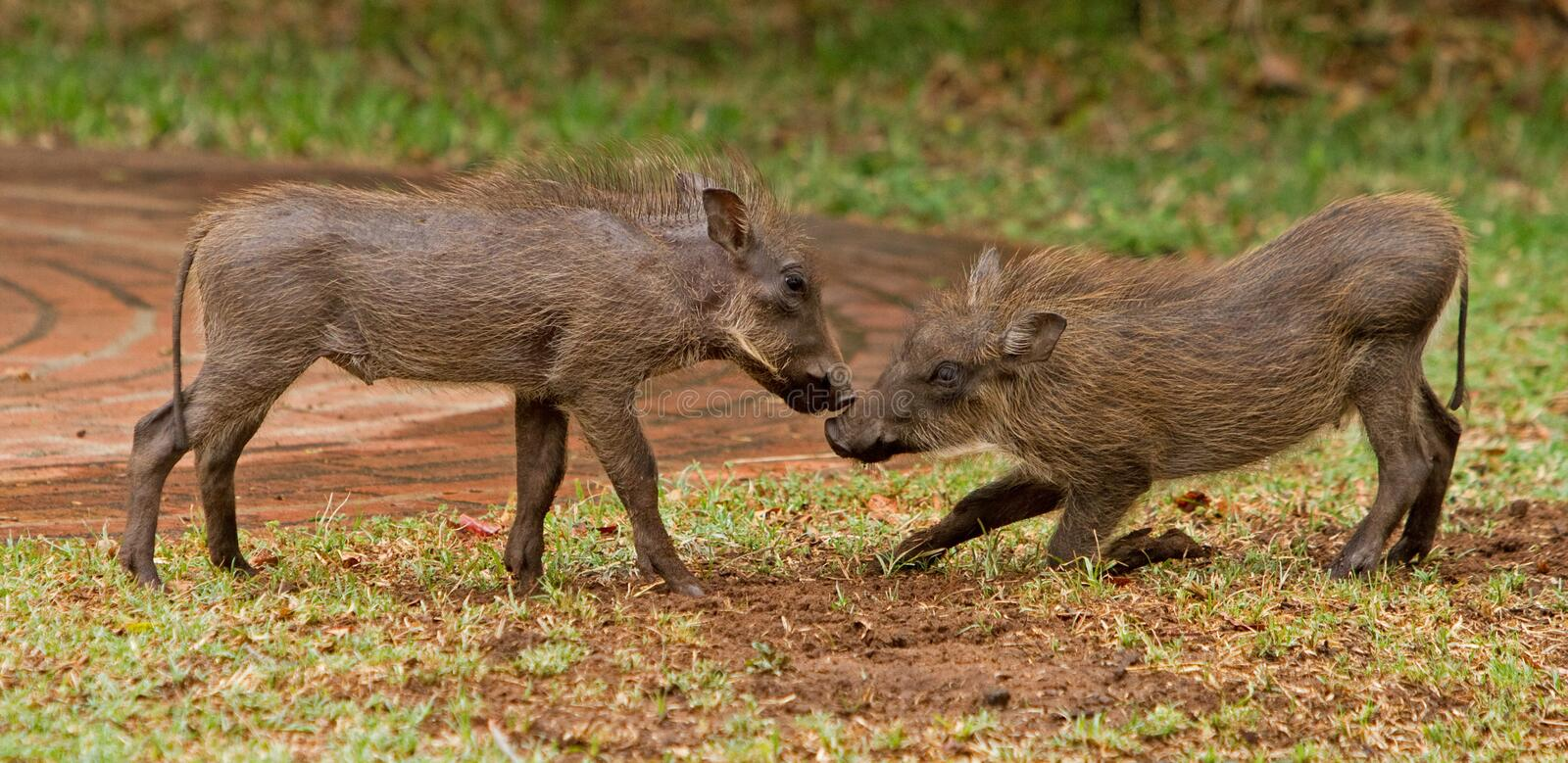 2 Young Wart Hogs playing royalty free stock image