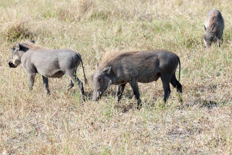Warthogs in the wild of Botswana stock photos