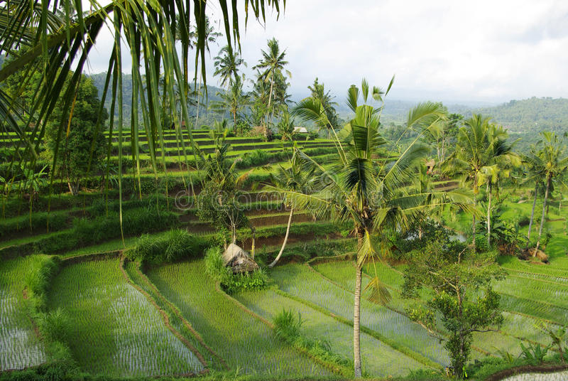 Young watered ricefield