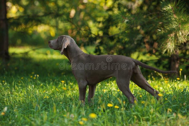 Young weimaraner dog outdoors on green grass stock photos