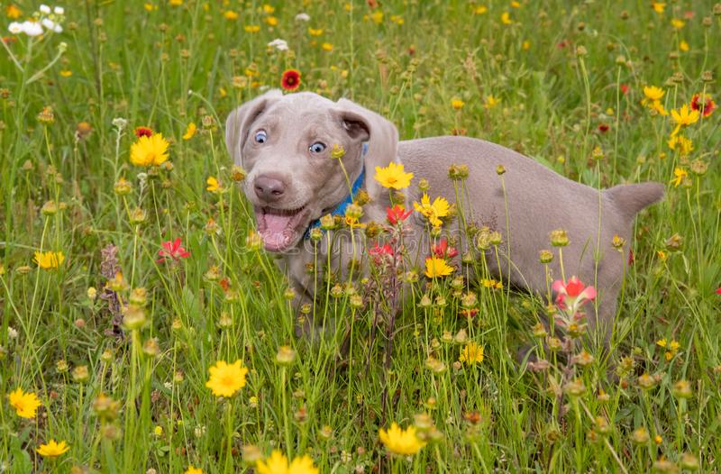 Young Weimaraner puppy in colorful wildflowers with a comical look on his face royalty free stock images