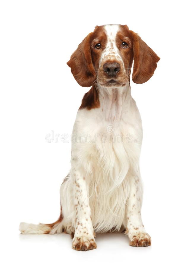 Welsh Springer Spaniel dog on a white background. Young Welsh Springer Spaniel dog sits on a white background, front view royalty free stock photo