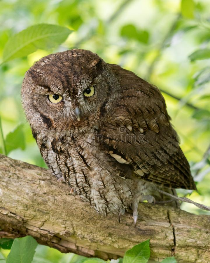 Young Western Screech Owl sitting in a tree royalty free stock photo