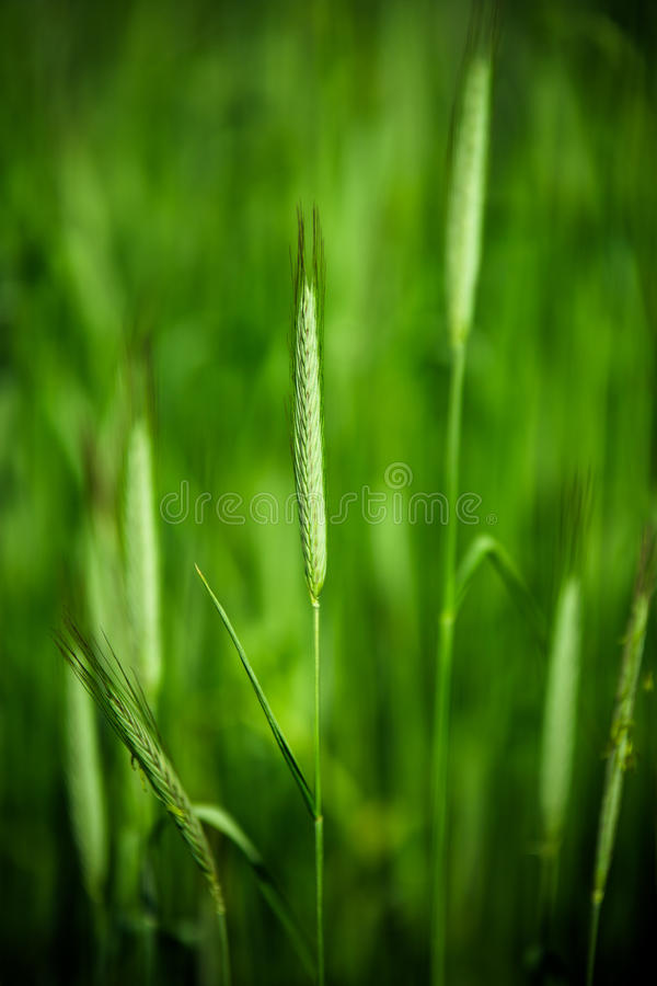 Young wheat alone in front of the field stock photo