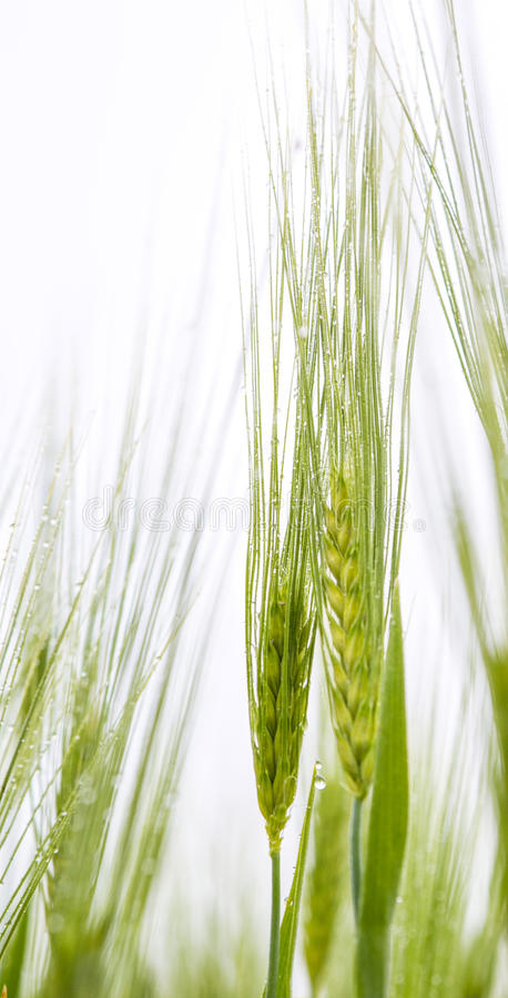 Young Wheat and Dew III royalty free stock images