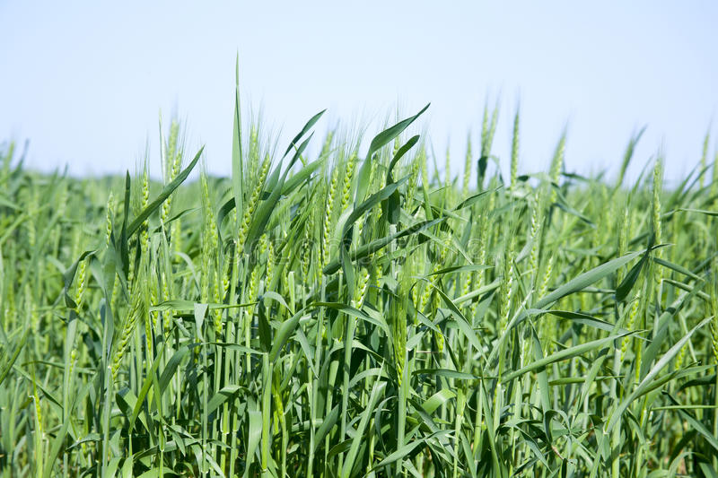 Download Young wheat on the field stock image. Image of vegetarian - 25973979