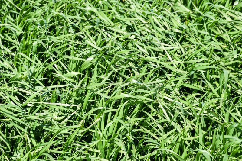 Young wheat green on the field, background texture of grass. Young wheat green on the field, background texture of grass stock images