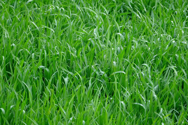 Young wheat seedlings royalty free stock photo