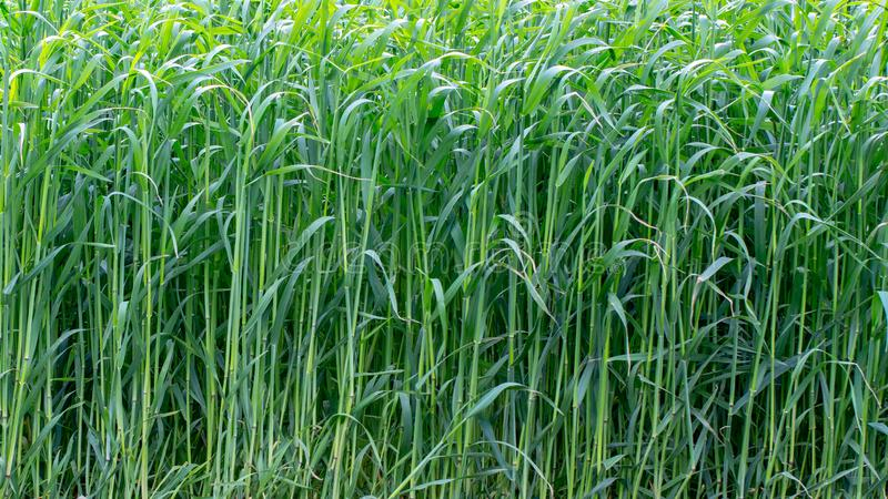 Young wheat sprouts, on the field, under the blue sky royalty free stock photo