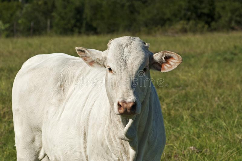 Young white Brahman breed cow royalty free stock photo
