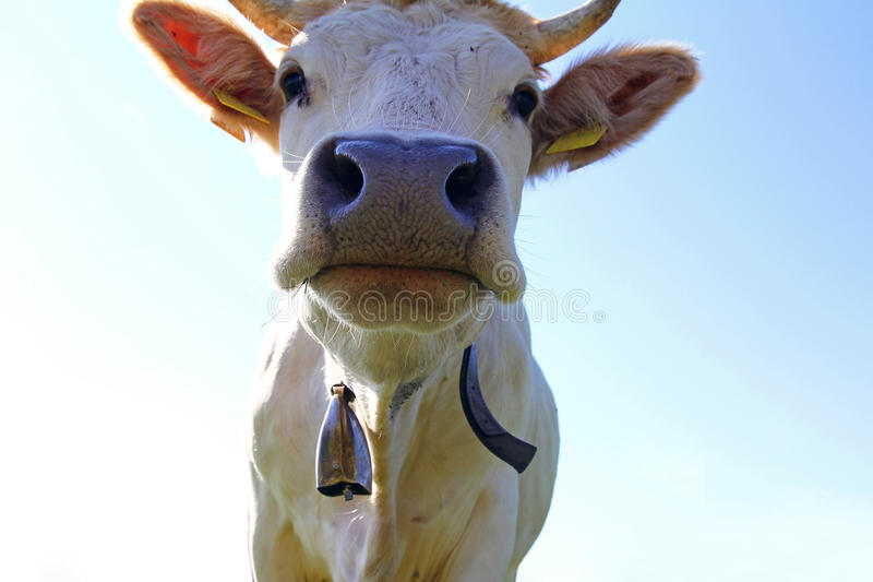 Young white Charolais cattle with horns and bell stock photo