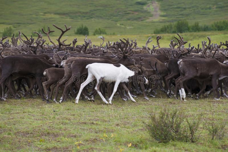 A young white deer in a herd of reindeer. Yamal, Russia stock images