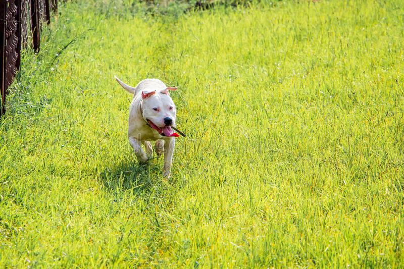 Young white dog breed pitbull running through green grass. Walk stock photo