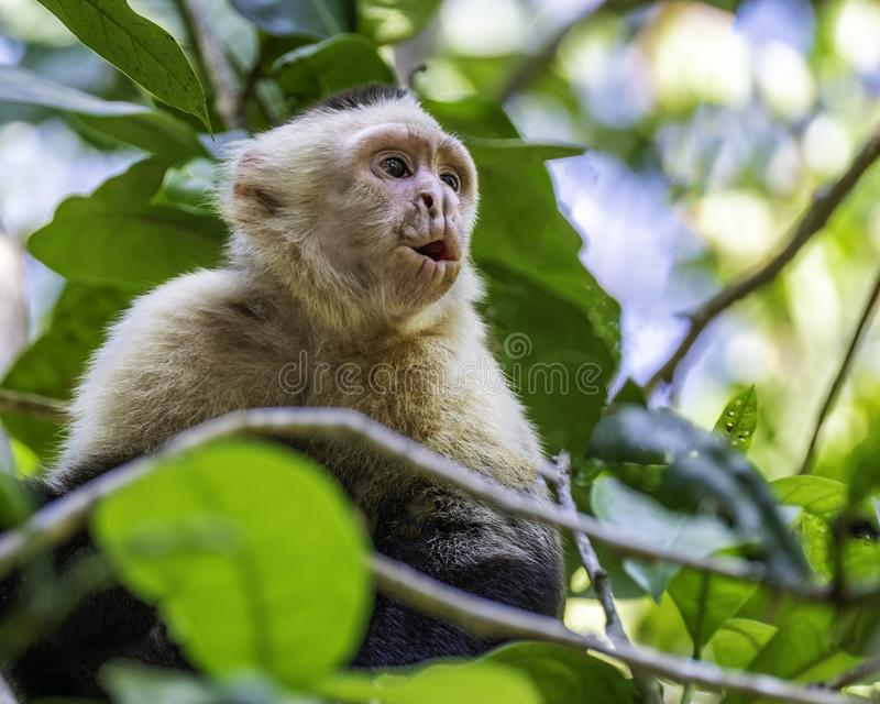 Young white face capuchin monkey royalty free stock image