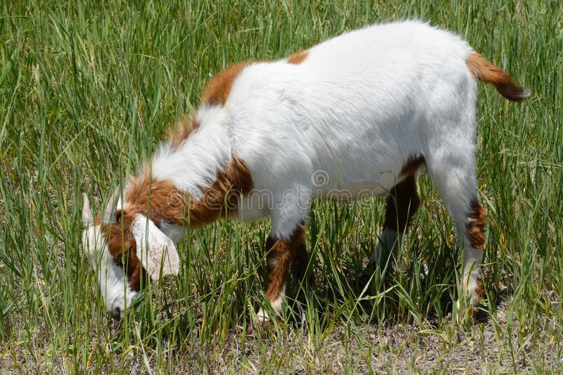 Goat grazing on summer grass. Young white goat with brown spots and small horns grazing on summer grass stock photo