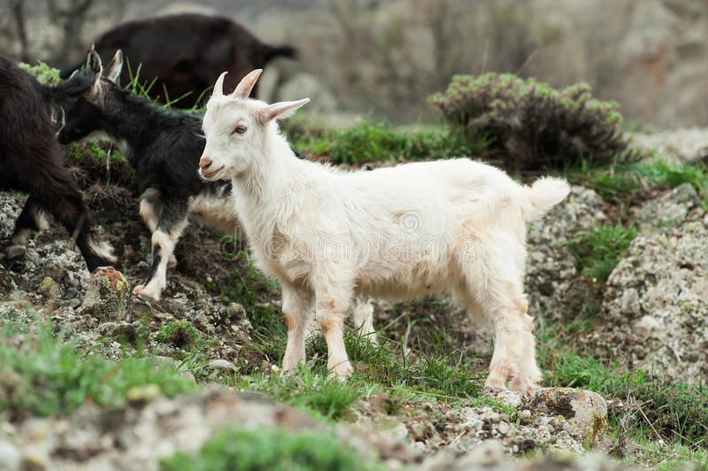 Young white goat stock photography