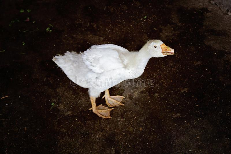 Young White Goose Standing. On black dark background stock images