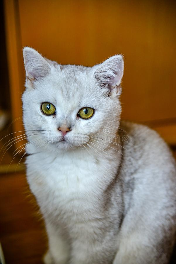 Young white British Shorthair cat royalty free stock photo