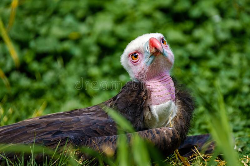 Young White Headed Vulture lies in the grass and looks full of e. Young White Headed Vulture in the Rotterdam Zoo Blijdorp Zoo, the Netherlands stock photography