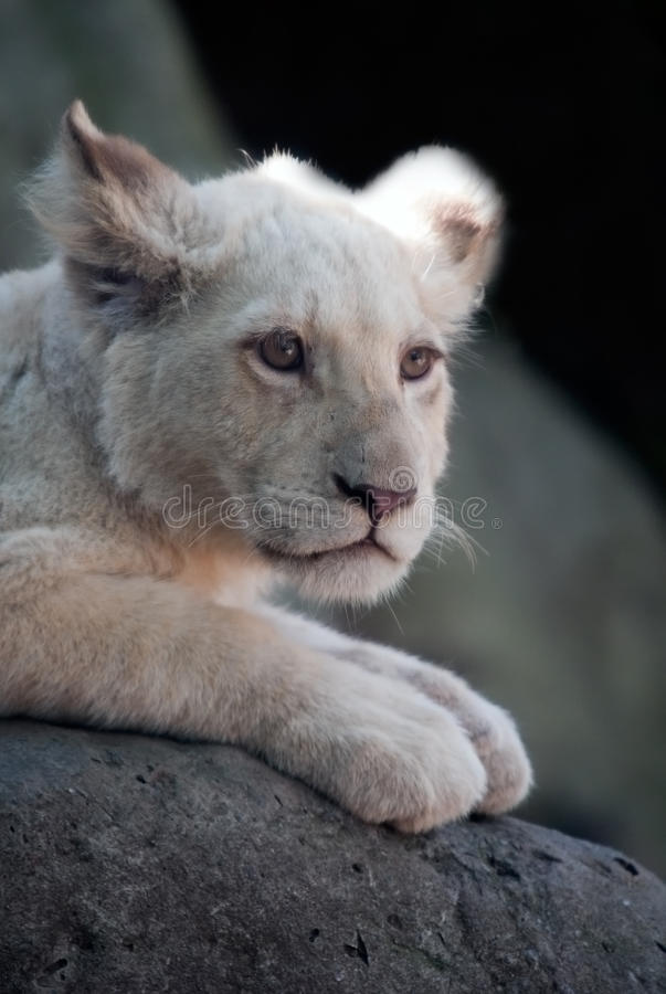 Download Young White Lion Cub stock image. Image of small, expression - 19580217