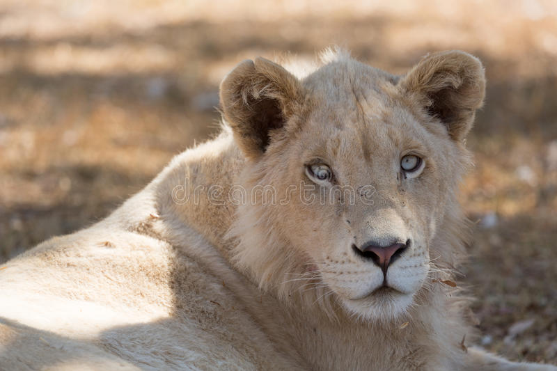 Download Young white lion stock image. Image of grassland, safari - 34181675
