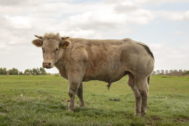Young white muscular beef bull with horns is standing in a meadow. Young white muscular beef bull with horns is standing in a meadow, showing willy and scrotum royalty free stock images