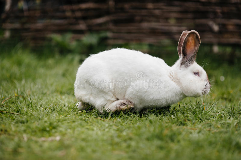 Young white rabbit in green grass in spring.  stock image