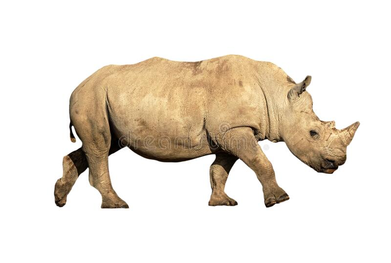 Young White Rhino Calf Isolated stock photo