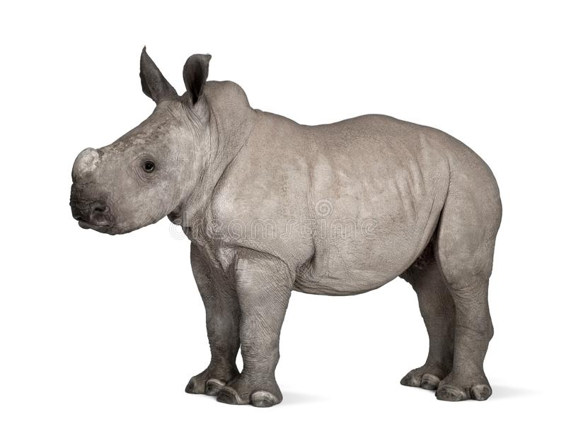Young White Rhinoceros or Square-lipped rhinoceros - Ceratotheri. Um simum 2 months old in front of a white background royalty free stock photo
