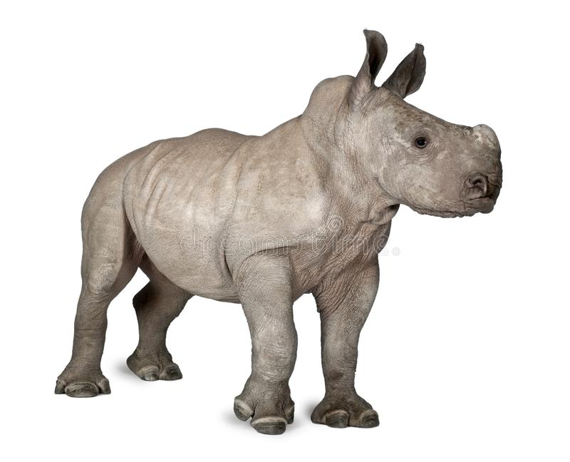 Young White Rhinoceros or Square-lipped rhinoceros - Ceratotheri. Um simum 2 months old in front of a white background stock photography